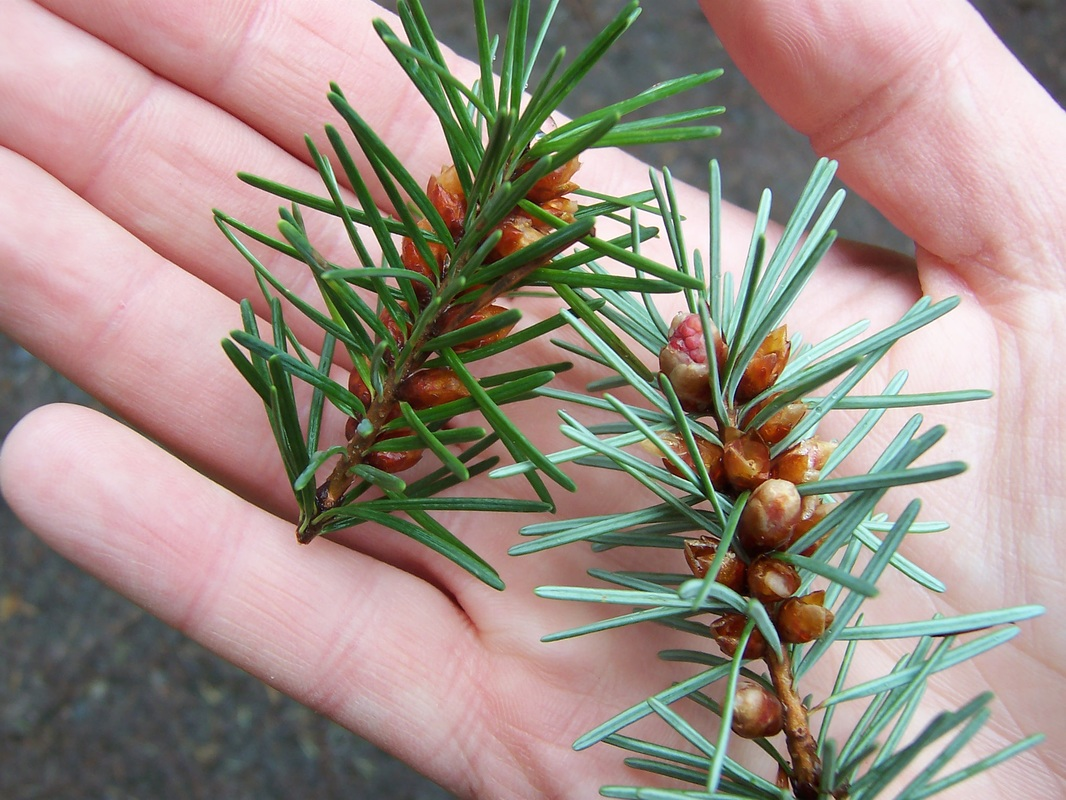 douglas fir needles in hand